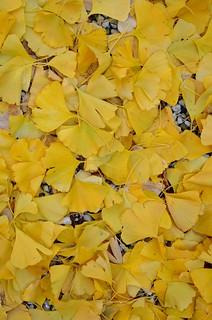 golden gingko garden