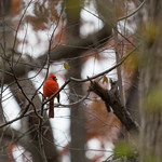 Cardinal of Central Park