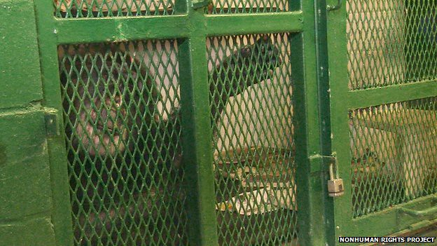 Tommy the Chimpanzee in his cage