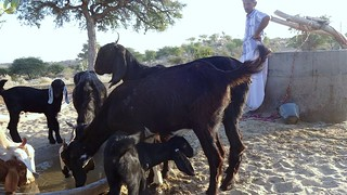 Each beri can support upto 250 livestock.
