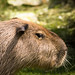 capybara von Cloudtail