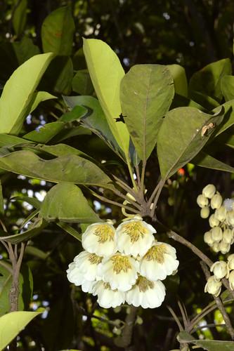 Elaeocarpus bancroftii DSC_0568 (1)