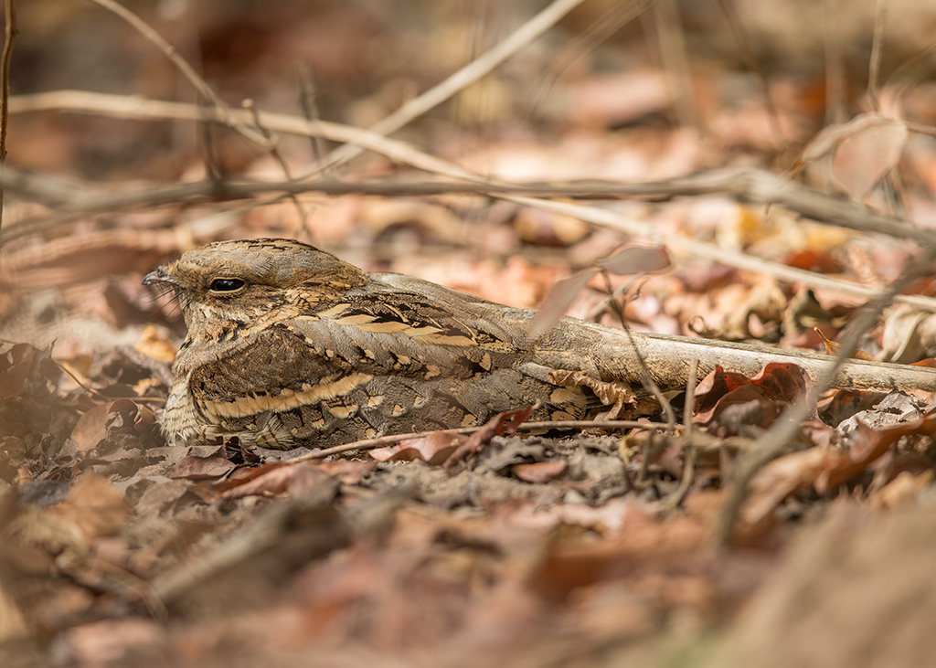 Long-tailed Nightjar  Gambia