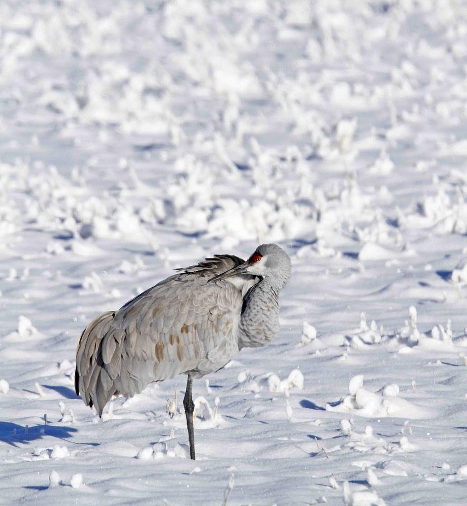 Sandhill Crane in Snow