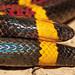 Texas Coral Snake - Micrurus tener by J Centavo