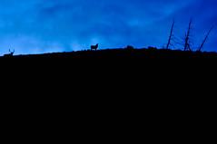 Elk on the ridge at dusk.g
