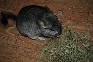 Tifa Enjoying Some Hay