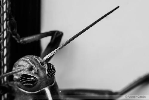 09/53 Grasshopper