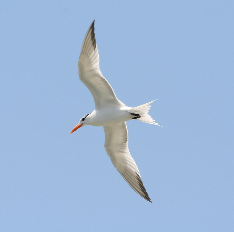 royal tern non breeding (2)