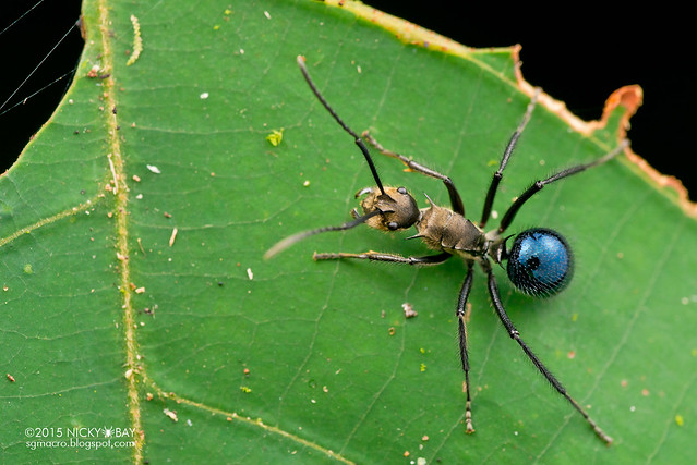 Golden blue ant (Polyrhachis sp.) - DSC_3436