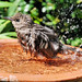 Bath time. (Juvenile Starling) by Rita Wren