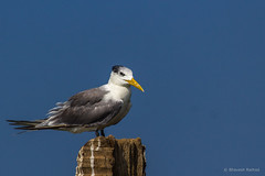 Greater-crested Tern