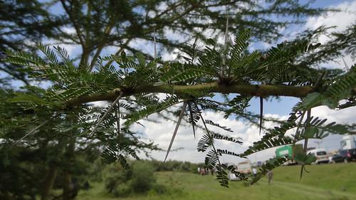 africa kenya riftvalley greatriftvalley tree acaciatree leaf needle