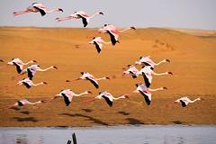 _DSC1164 Flamingo 25 Namibia 2016