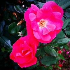 shrub(0.0), camellia sasanqua(0.0), rosa 㗠centifolia(0.0), floribunda(0.0), annual plant(1.0), garden roses(1.0), flower(1.0), rosa gallica(1.0), plant(1.0), flora(1.0), camellia japonica(1.0), rosa chinensis(1.0), pink(1.0), petal(1.0),