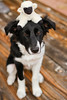 Border Collie 101 - Introduction to Sheep