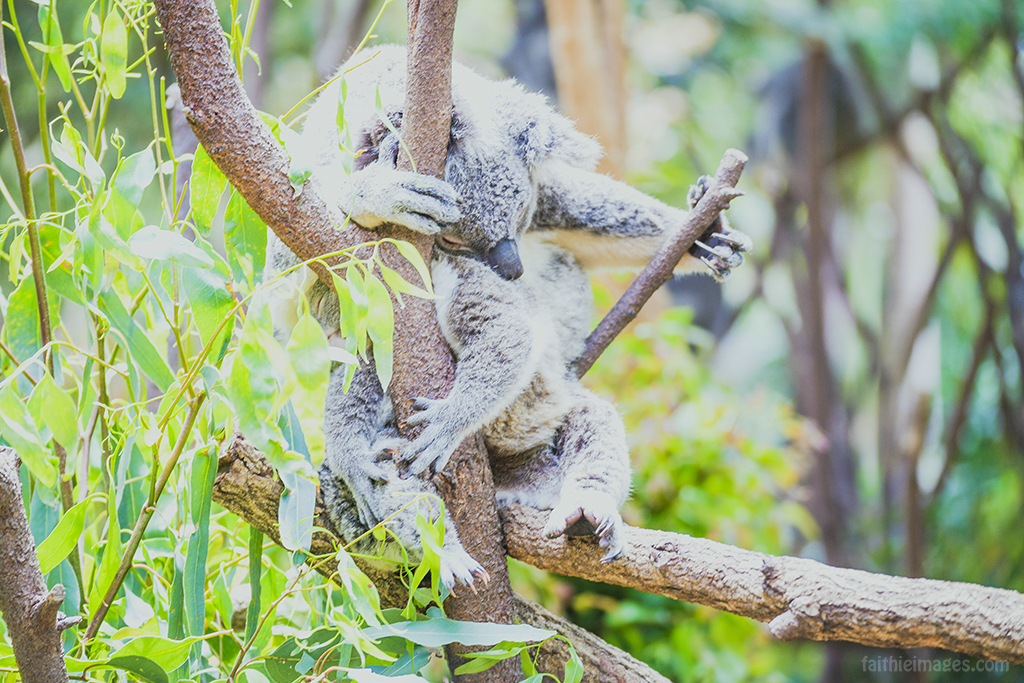 couple of koalas sleeping and hugging