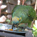 Small photo of Amazona aestiva