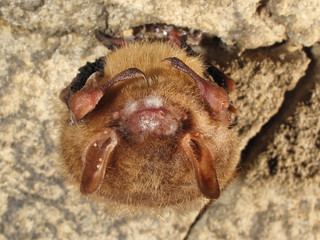 Perimyotis subflavus, with Pseudogymnoascus destructans (White-Nose Syndrome), Saltpeter Cave, Grundy County, Tennessee 2