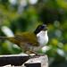 Black-Headed Brush Finch