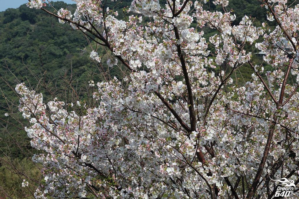 2015楓樹湖木蓮花16