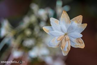 white star shaped flower wilts