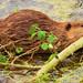 Wild Beaver Art
