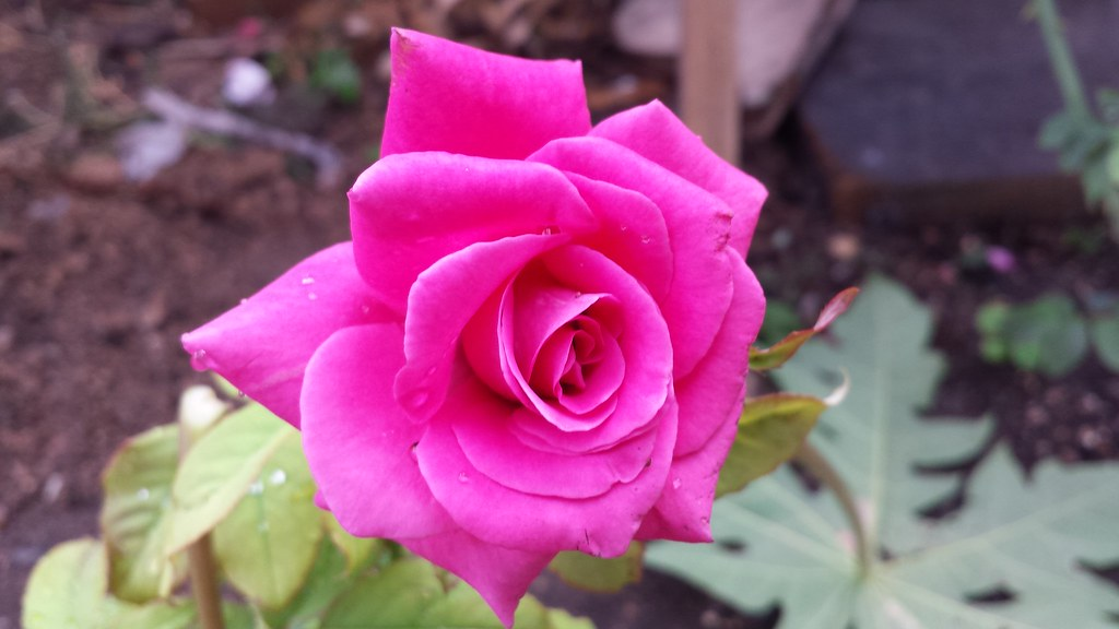 Rosas Flores Lindas Jardimperiferia Jardins Roseiras Flickr