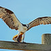 Small photo of Osprey with Flounder