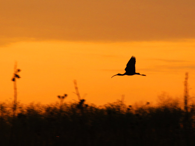 Ibis at sunrise