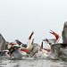 Dalmatian pelican (Pelecanus crispus) by photosbymarkwebb