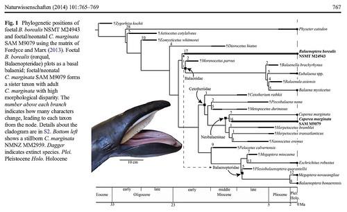 幼體和成體的彼得潘鯨魚進行(小露脊鯨Pygmy right whale, Caperea marginata)在鯨魚的親緣關係圖上的位置,左下角為一隻幼體的彼得潘鯨魚,於2013年在紐西蘭奧塔哥大學進行解剖,已發表於德國的自然科學(Naturwissenschaften, 2014 Juvenile morphology in baleen whale phylogeny)。