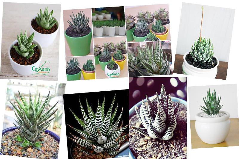 caysenda.com | sen da | xuong rong | tieu canh sen da | art plant | terrarium | sao bien