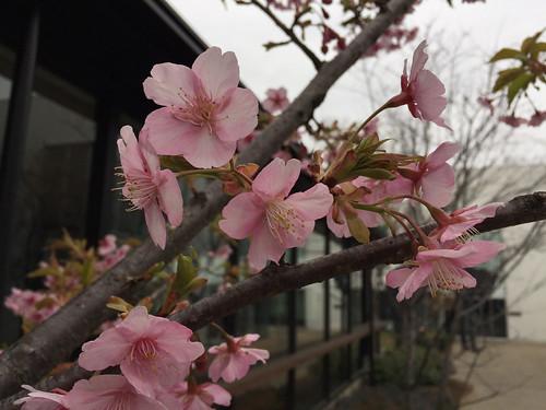 桜さいてた 代官山Tサイト 2015/3/1