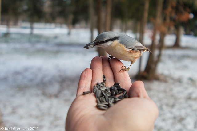 Feeding nuthatches from hand in a local park