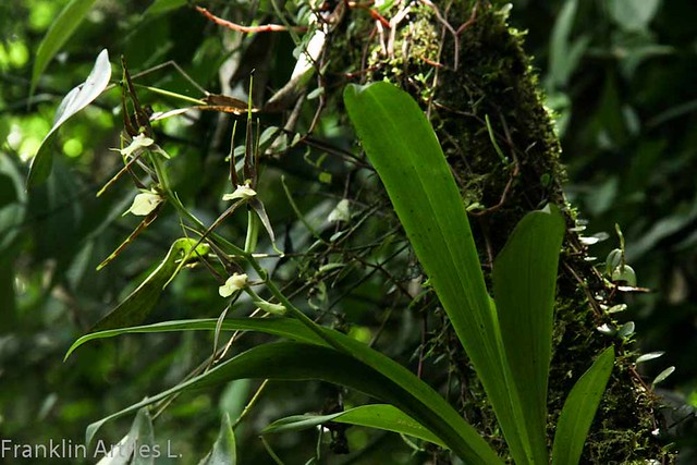 Brassia sp.