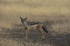 Black-backed jackal, Ngorongoro Conservation Area (1)