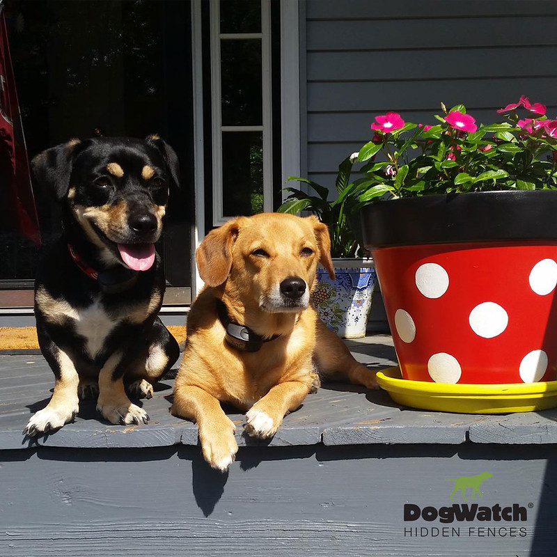Riley the Dachshund-Basset Hound mix (L) and Tucker the Labrador Retriever-Corgi mix (R), Hudson Valley DogWatch