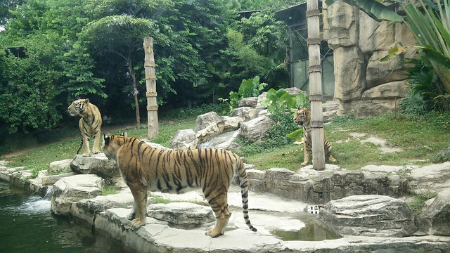Tigers at zoo 1