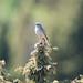 Tawny Pipit (Anthus campestris) Fältpiplärka