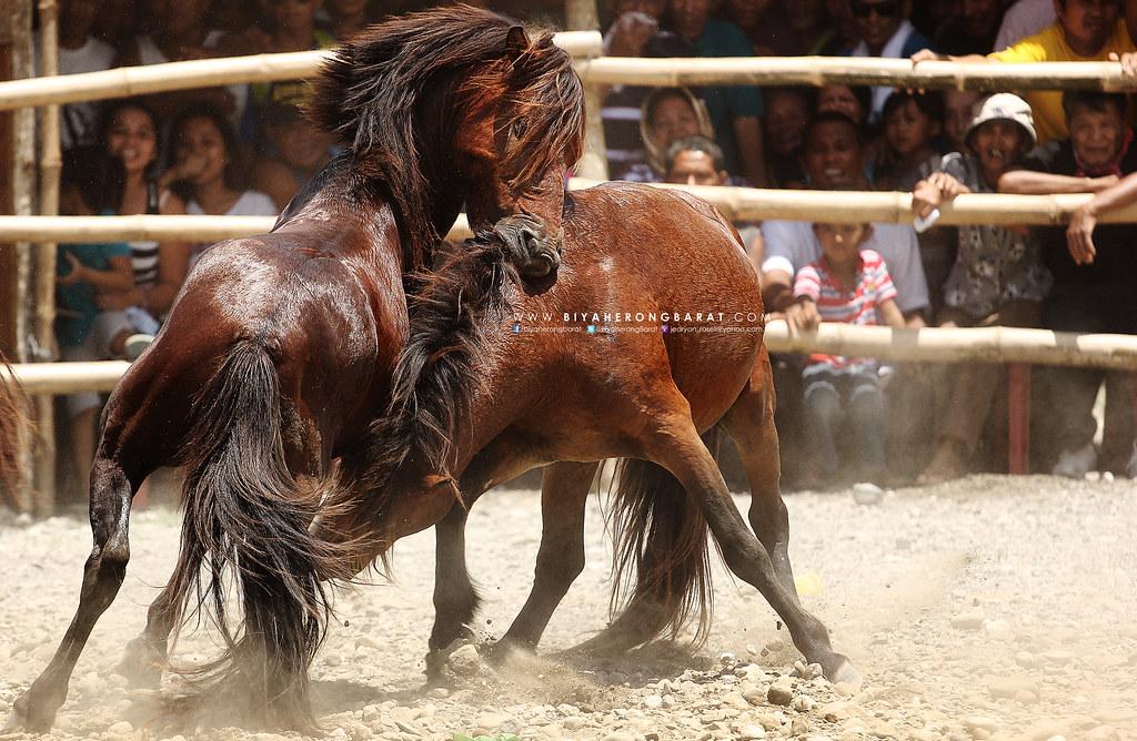 Horse fight glan sarangani mindanao