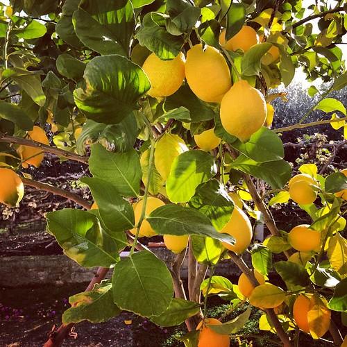 Momento #terrone #italy #lemon #tree #limone #agrumi