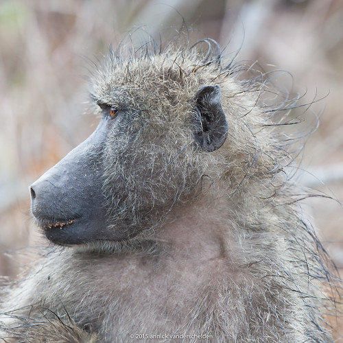 Wet Chacma baboon in profile