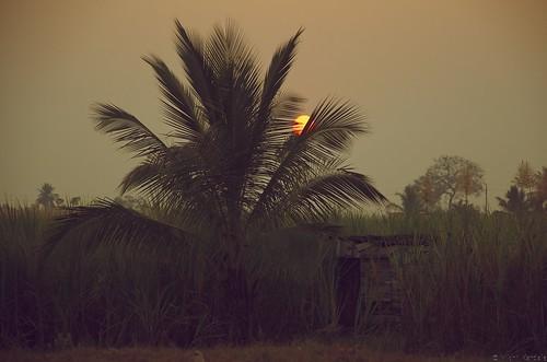 light sunset sun india tree nature silhouette sepia evening nikon perspective