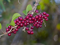 Rough Bindweed (Smilax aspera) fruits - Photo of Le Pouget