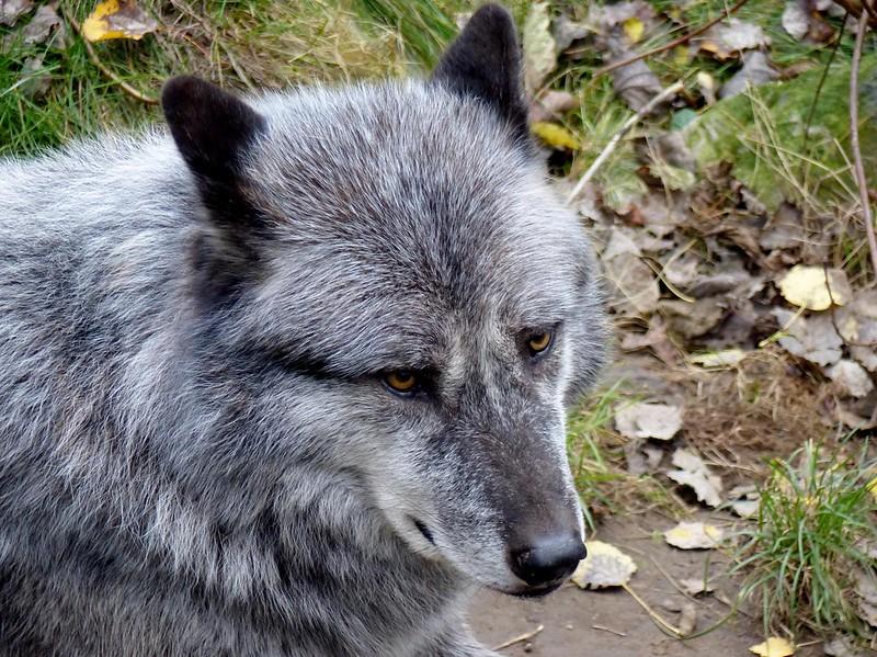 Westlicher Timberwolf***Mackenzie-Valley Wolf***Canis lupus occidentalis
