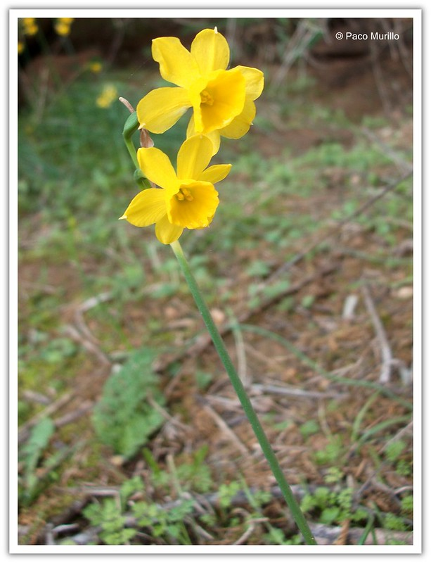 Narcissus (?) fernandesii