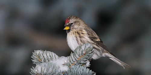 A Winter Visitor, Common Redpoll