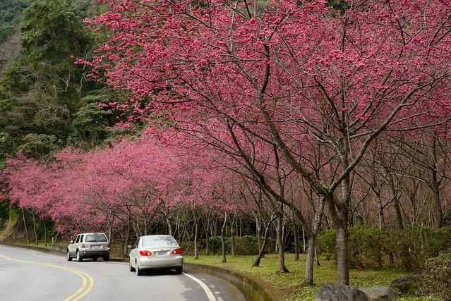 台7甲線櫻花