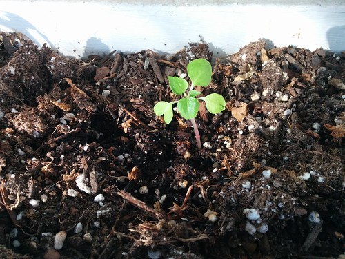 A baby impatiens, February 14
